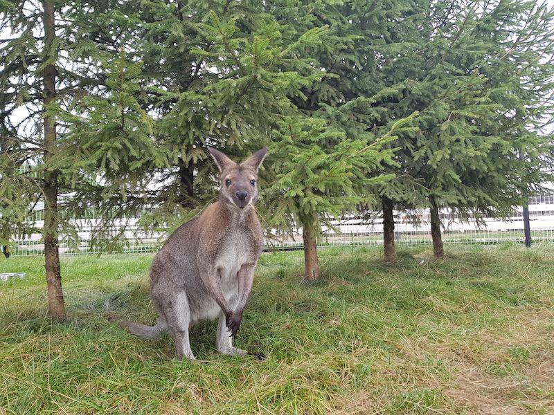 pilkarusve kengura